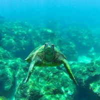 Honu, Sea Turtle