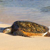 Honu, Sea Turtle