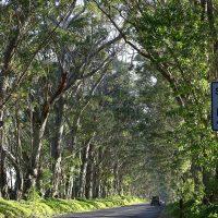 Koloa Tree Tunnel